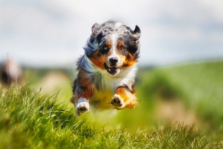 dog running: Shot of purebred dog. Taken outside on a sunny summer day.