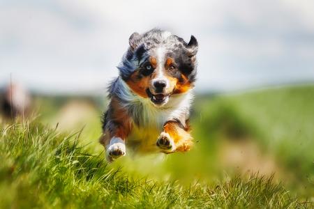perro corriendo: Tirado de perro de raza pura. Tomado al aire libre en un día soleado de verano. Foto de archivo