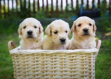 Három aranyos golden retriever kiskutyák egy kosárban. Stock fotó