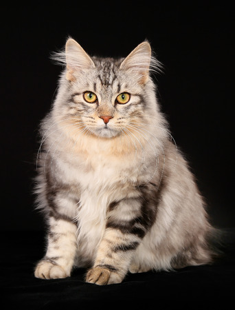 Studio shot of gray and white purebred kurilian bobtail cat  photo