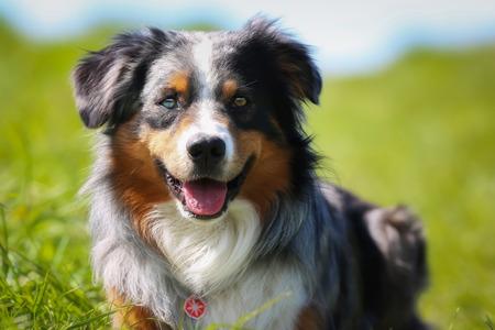 collie: Shot of purebred dog. Taken outside on a sunny summer day.