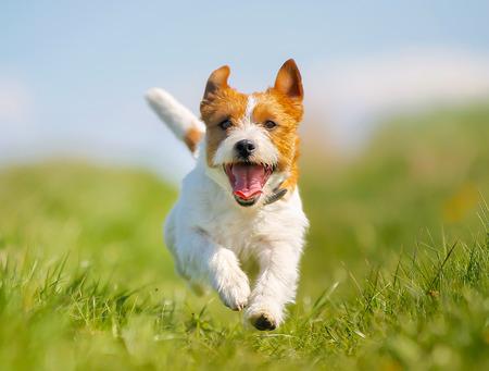 perro corriendo: Perro de raza pura al aire libre en un d�a soleado de verano.