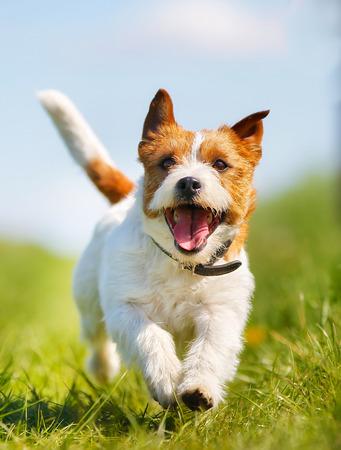 perro corriendo: Perro de raza pura al aire libre en un día soleado de verano.
