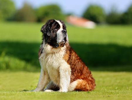 st bernard: Purebred St. Bernard dog sitting on the grass on sunny day.