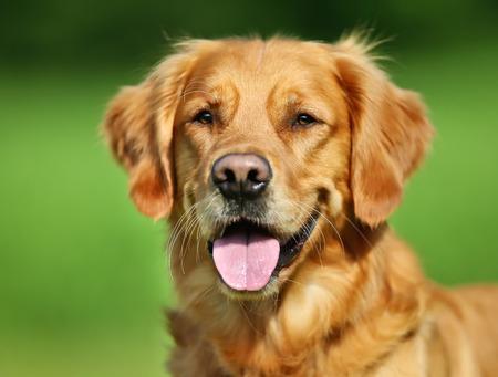 순종 골든 리트리버 강아지 야외 화창한 여름 날에.