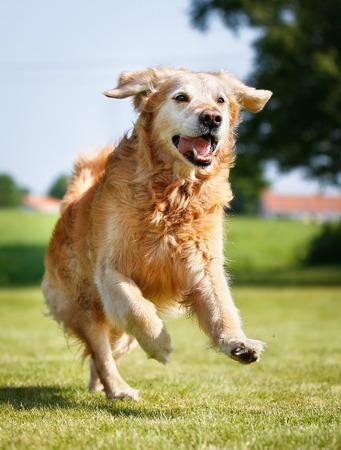 Fajtiszta golden retriever kutya a szabadban, egy napsütéses nyári napon.