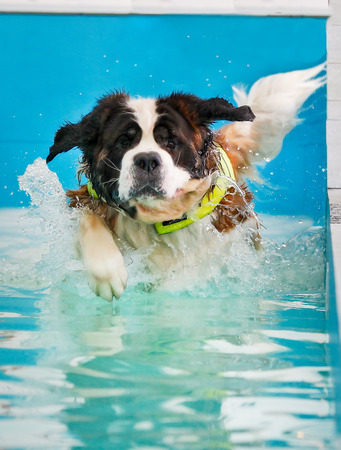 Huge St Bernard dog taking a swim in indoor swimming pool for dogs. photo