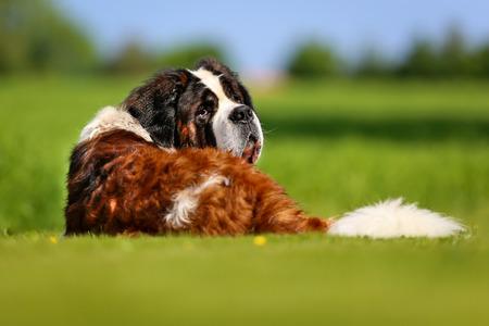 Purebred Saint Bernard mountain dog lying down on the grass.