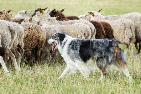 sheepdog: Purebred border collie herding a flock of sheep on a summer day.