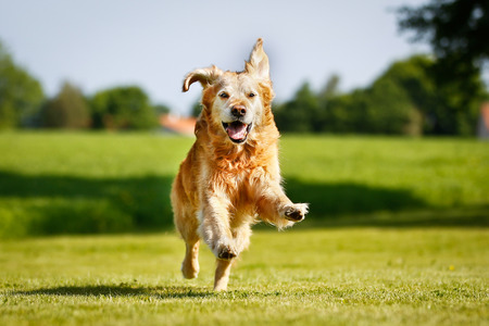 Purebred Golden Retriever dog outdoors on a sunny summer day.