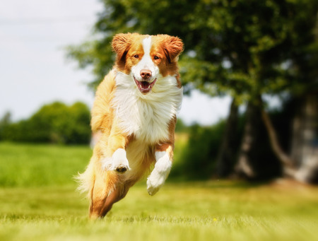 Purebred brown and white Nova Scotia Duck Tolling Retriever.