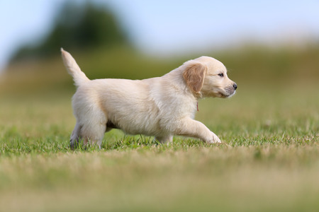 Seven week old golden retriever puppy outdoors on a sunny day. photo