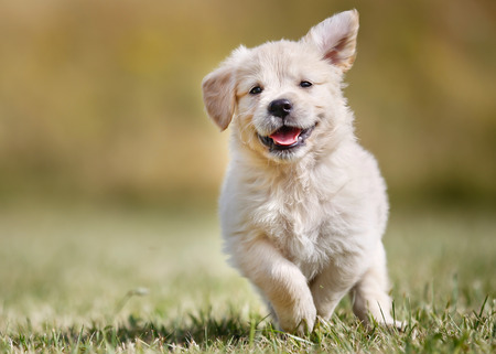 Zeven weken oude golden retriever pup buiten op een zonnige dag. Stockfoto