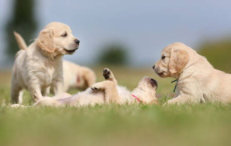 many babies: Seven week old golden retriever puppies outdoors on a sunny day. Stock Photo