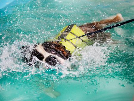 st bernard: Huge St Bernard dog taking a swim in indoor swimming pool for dogs.