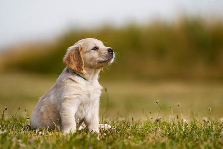 야외에서 맑은 날에 7 주 오래 된 골든 리트리버 강아지. 스톡 콘텐츠