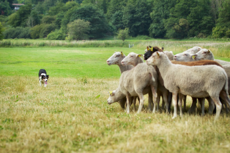 in herding: Purebred border collie herding a flock of sheep on a summer day.
