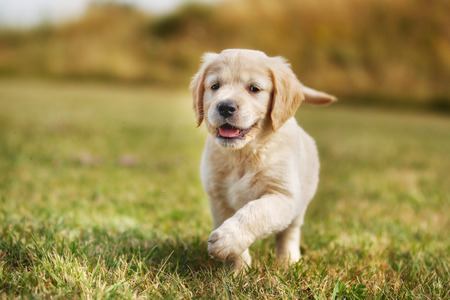 Seven week old golden retriever puppy outdoors on a sunny day. Фото со стока - 32140665