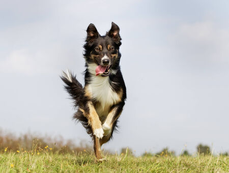 border collie: Purebred dog outdoors on a sunny summer day.