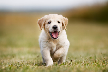 Seven week old golden retriever puppy outdoors on a sunny day.