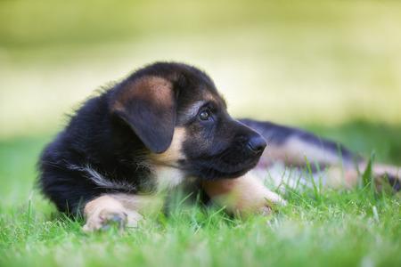 pedigree: Six week old pedigree german shepherd puppy outdoors on a sunny day.