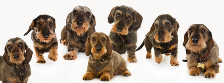 wirehaired: Seven purebred brown wirehaired dachshund dogs isolated on white background in studio. Stock Photo