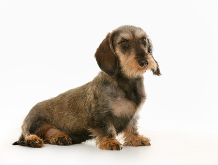 wirehaired: Purebred brown wirehaired dachshund dog isolated on white background in studio.
