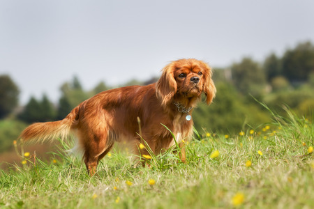 cavalier king charles spaniel: Purebred dog outdoors on a sunny summer day.