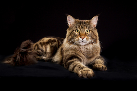 Purebred Maine Coon cat isolated on black background in studio.