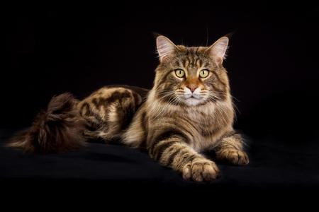 maine coon: Reinrassige Maine Coon Katze auf schwarzem Hintergrund im Studio.