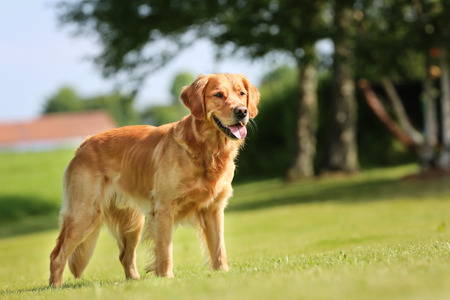야외 화창한 여름 날에 순종 골든 리트리버 강아지.