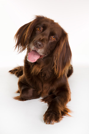 longhaired: Happy and smiling purebred german brown longhaired pointer dog looking towards the camera and isolated on white background in studio.