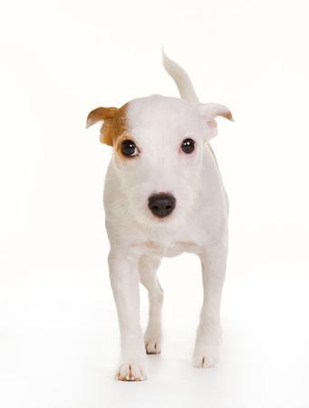 swedish: Purebred Danish Swedish farmdog isolated on white background in studio. Stock Photo