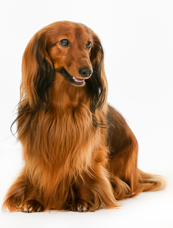 longhaired: Purebred brown longhaired dachshund dog isolated on white background in studio.