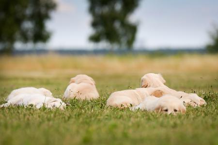 labrador retriever: Seven week old golden retriever puppies outdoors on a sunny day. Stock Photo