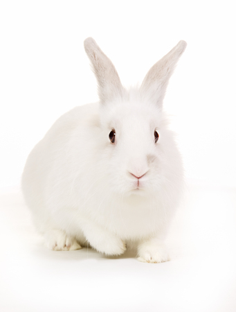 bunnies: Purebred rabbit isolated on white background in studio.