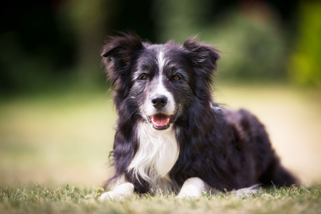 Purebred border collie outdoors on a summer day.
