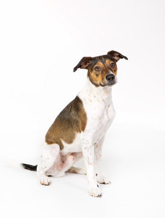 Purebred Danish Swedish Farmdog isolated on white background in studio.