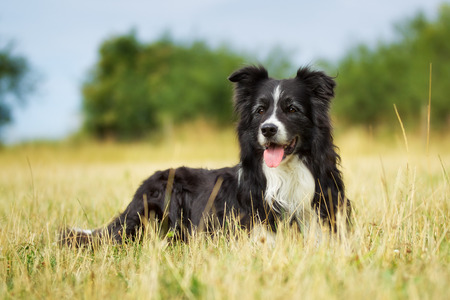 Purebred border collie outdoors on a summer day. Standard-Bild