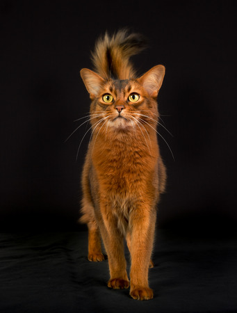 pedigree: Pedigree orange Somali cat photographed indoors in studio on black background.