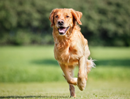 dog running: De pura raza Golden Retriever aire libre en un día soleado de verano.