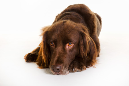 longhaired: Purebred brown longhaired pointer dog isolated on white background in studio.