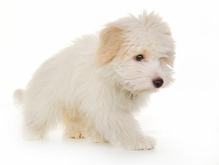 westland: West Highland White Terrier dog isolated on white background in studio. Stock Photo