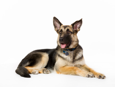 dog background: German shepherd dog isolated on white background in studio.