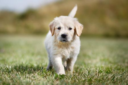 golden retriever puppy: Seven week old golden retriever puppy outdoors on a sunny day.