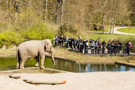 zoological: COPENHAGEN, DENMARK - APRIL 18, 2015: The elephants at the popular Danish tourist attraction The Copenhagen Zoological Garden welcomes visitors on a sunny day during spring.