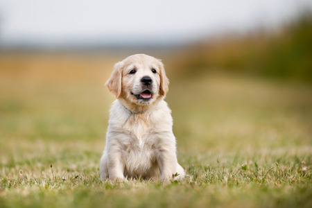 labrador retriever: Seven week old golden retriever puppy outdoors on a sunny day.