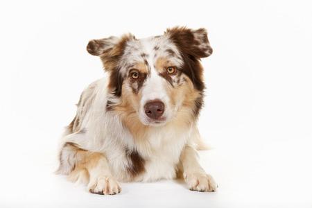 border collie: Border Collie dog
