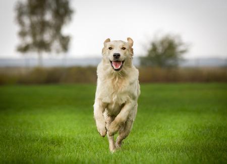 perro corriendo: Pura raza al aire libre golden retriever jóvenes en el campo de hierba en un día soleado de verano.