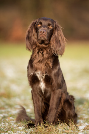 pointer dog: Pedigree brown german longhaired pointer dog outdoors on grass field on a sunny spring day. Stock Photo